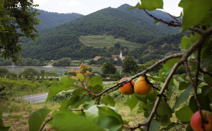Apricots and Vineyards